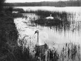 Swans Among Reeds Photographic Print