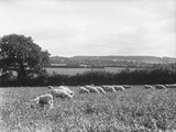 Devonshire Sheep Photographic Print