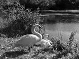 Swan Cob and Pen Impressão fotográfica
