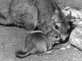 Plains Viscacha Photographic Print