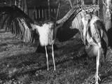 Marabon Storks Photographic Print