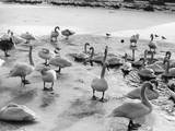 Swans on Frozen River Photographic Print