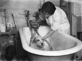 Bathing a Dog Photographic Print