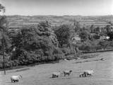 Warwickshire Sheep Photographic Print