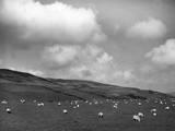 Welsh Sheep Grazing Photographic Print