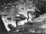 Family of Swans Photographic Print