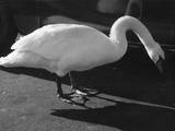 Swan Study Photographic Print