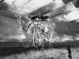 Nest of Swallows Photographic Print