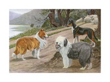 Collie, Old English Sheep Dog and Smooth Collie Impression giclée