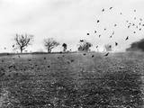 Rooks Attacking Crops Photographic Print