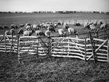 Sheep in the Fold Photographic Print