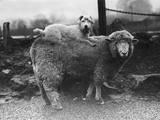 Sealyham Riding a Sheep Photographic Print