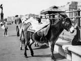 Tethered Seaside Donkeys Photographic Print