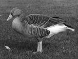 Grey Lag Goose Photographic Print
