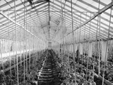 Tomato Hothouse Photographic Print