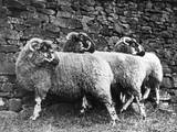 Three Lonk Sheep Photographic Print