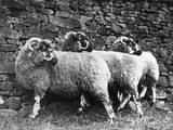 Three Lonk Sheep Photographic Print