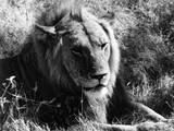 Content Lion Photographic Print