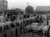 Maidstone Sheep Market Photographic Print