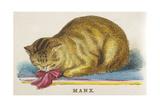 Manx Cat Giclee Print