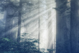 Magical Light in the Redwood Forest California Coast Photographic Print by Vincent James