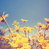 A Bunch of Pretty Balsamroot Flowers Done with a Soft Vintage Instagram like Effect Filter Photographic Print by  graphicphoto