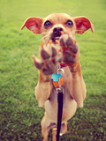 A Cute Chihuahua Enjoying the Outdoors on a Summer Day Toned with a Retro Vintage Instagram Filter Photo by  graphicphoto