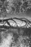 Mount Diablo Storybook Tree Branch Photographic Print by Vincent James