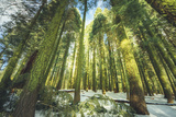 Big Trees at Crane Flats Yosemite Photographic Print by Vincent James