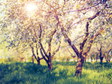Blossoming Apple Orchard in Spring. Retro Filtered. Instagram Effect. Ukraine, Europe. Beauty World Photographic Print by Leonid Tit