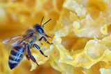 A Bee on A Honeycomb Photographic Print by  mady70