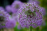 Purple Allium Flowers Photo Print Poster Poster