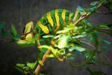 Veiled Chameleon Fotografisk tryk af  Gaschwald