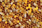 Working Bees on Honeycells Photographic Print by  mady70