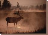 Bull Elk in the Morning in the Smoky Atmosphere of Yellowstone National Park Fires of 1988 Stretched Canvas Print by Michael S. Quinton