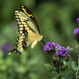 Yellow Swallowtail Butterfly Photographic Print by Dean Fikar
