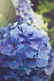 Blue Hydrangea in the Garden Photographic Print by  pdb1