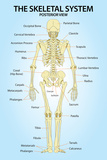 Skeletal System Posterior View Anatomy Print Poster Print