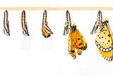 Mature Cocoon Transform to Tawny Coster Butterfly Photographic Print by  mathisa