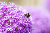 Honey Bee on Violet Allium Photographic Print by  essentialimagemedia