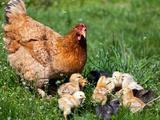 Chicken with Babies Fotografisk tryk af  Xilius