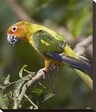 Sun Parakeet, native to South America Reproduction transférée sur toile par Tim Fitzharris