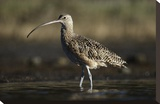 Long-billed Curlew wading, North America Toile tendue sur châssis par Tim Fitzharris