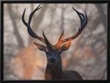 Portrait of a Red Deer Buck, Cervus Elaphus, in Winter Framed Photographic Print by Alex Saberi