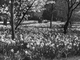 Fred Musto - Hampton Court Daffodils - Fotografik Baskı