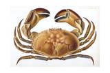Longipes Crab 1835 Giclee Print by I.o. Westwood