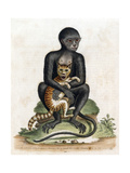 Black Guinea Monkey Giclee Print by George Edwards