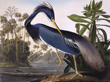 Louisiana Heron Premium Giclee Print by John James Audubon