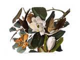 Black-Billed Cuckoo Premium Giclee Print by John James Audubon