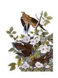 Carolina Turtle Dove Giclee Print by John James Audubon